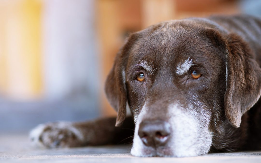 The Essential Guide to Senior Dog Supplements